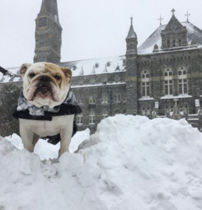 Jack the Bulldog standing on snow pile in front of Healy Hall